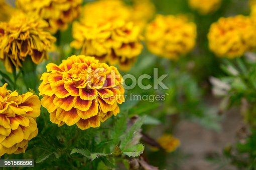 Imagen De Flores De Calendula En El Jardin En Verano Flores