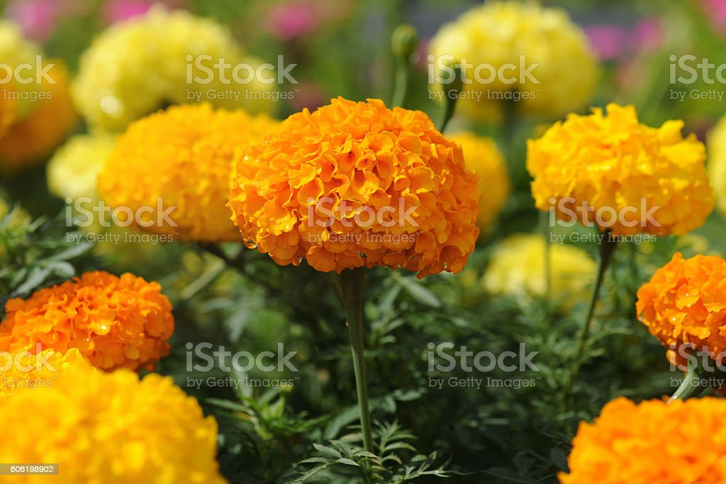 Marigold flowers in the garden stock photo