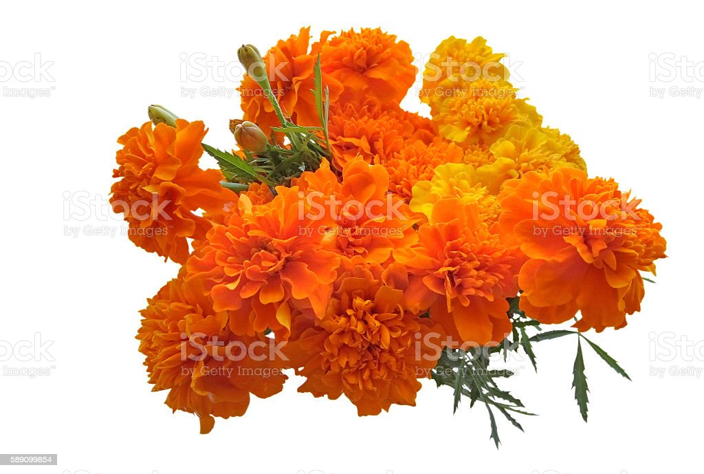 Marigold flowers isolated on a white stock photo