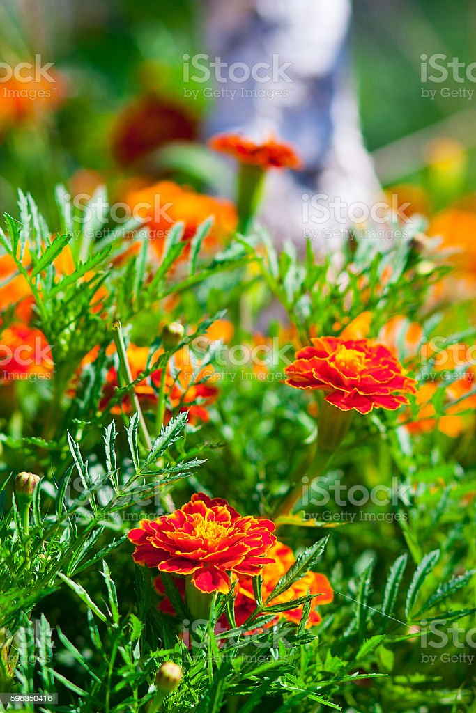 marigold flowers on the lawn royalty-free stock photo
