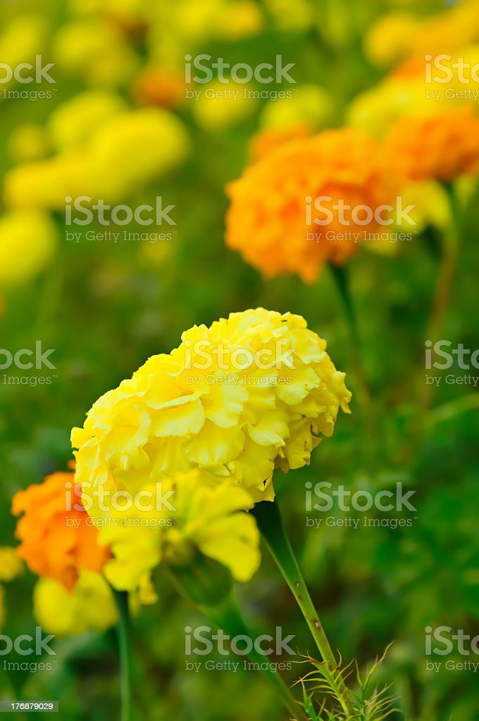 Marigold flowers royalty-free stock photo