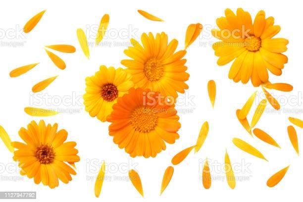 Marigold flowers with petals isolated on white background calendula picture id1127947792?b=1&k=6&m=1127947792&s=612x612&h=1 nls3pbgjfs0wfjfkchg7nvhsjdbjs2gqi4amnx94q=