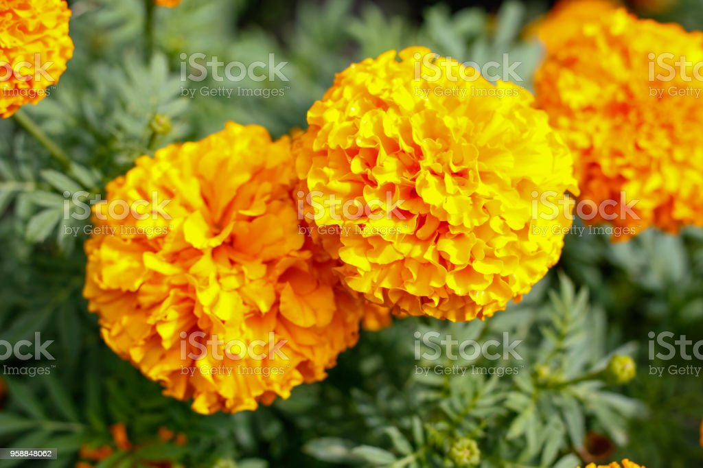 marigold Flower.Yellow Marigold Flower On the background nature, blur is good. stock photo