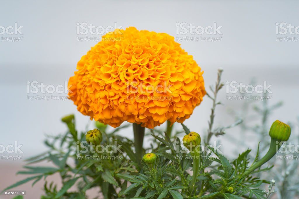 Marigold in garden isolated on nature background stock photo