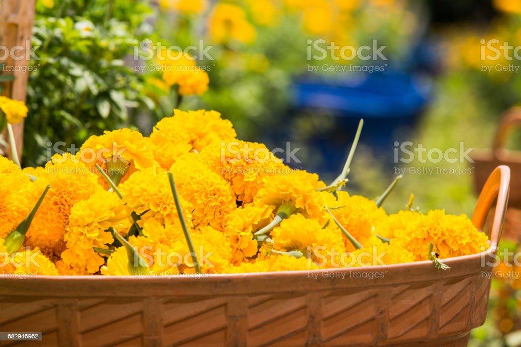 Marigold in orange basket. royalty-free stock photo