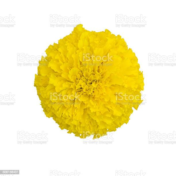 Marigold isolated on white background picture id506158431?b=1&k=6&m=506158431&s=612x612&h=aisvv7mt8 p7 1d swr6kigrxgnsp5dqv3yukm fz0c=
