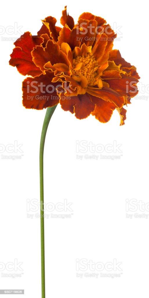 marigold isolated on white stock photo