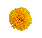 front shot of yellow marigold flower on white isolated background