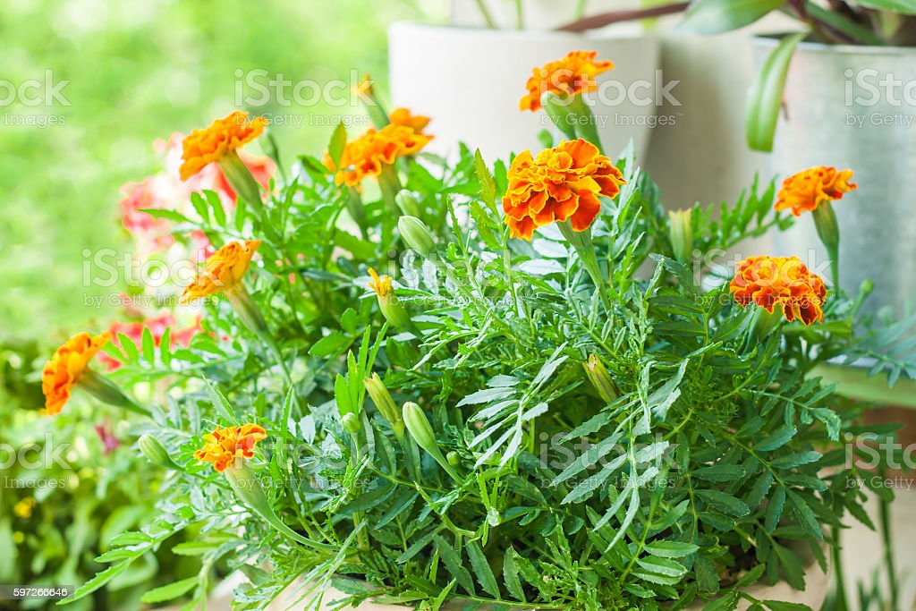 marigold lush green bush in a flowerpot royalty-free stock photo