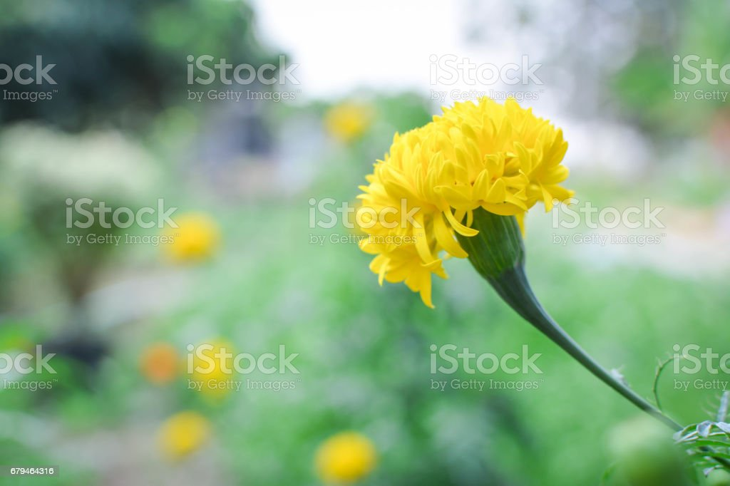 Marigold on plant in farm, Hipster tone royalty-free stock photo