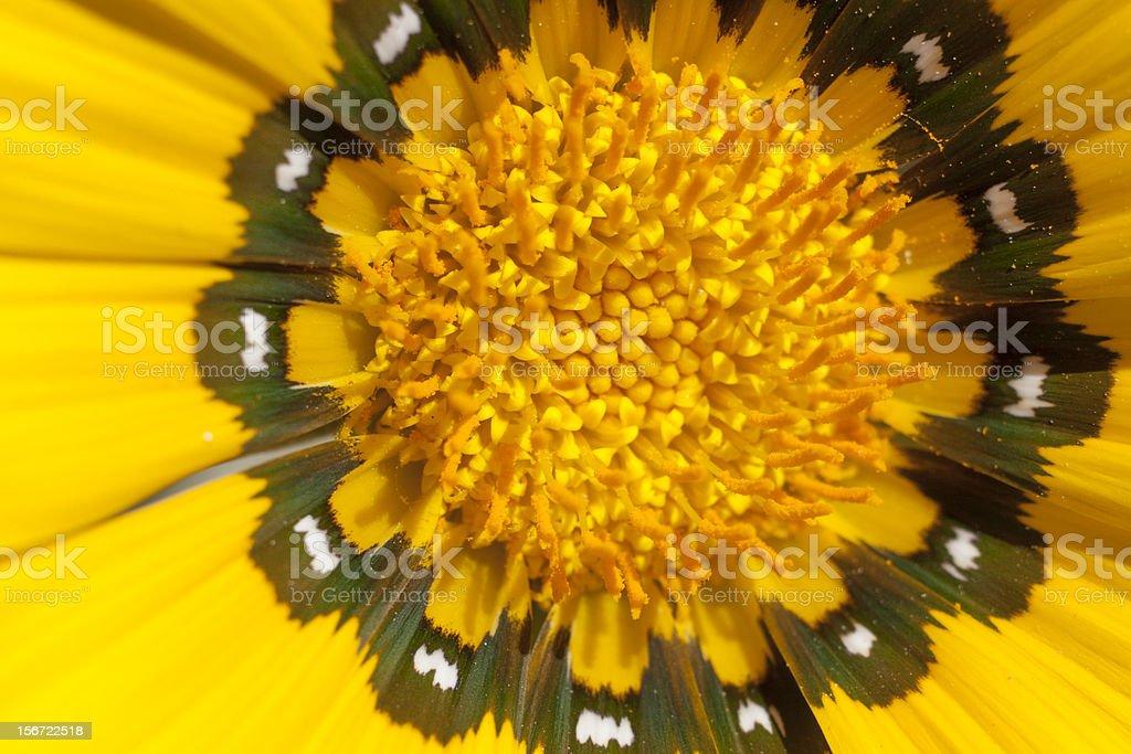 Marigold Close UP to a marigold Black Color Stock Photo