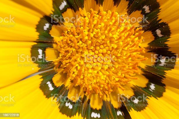 Marigold Stock Photo - Download Image Now