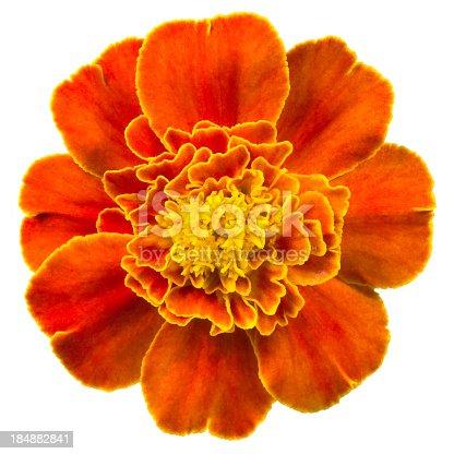 Orange marigold on a white background.