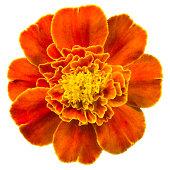istock Marigold. 184882841