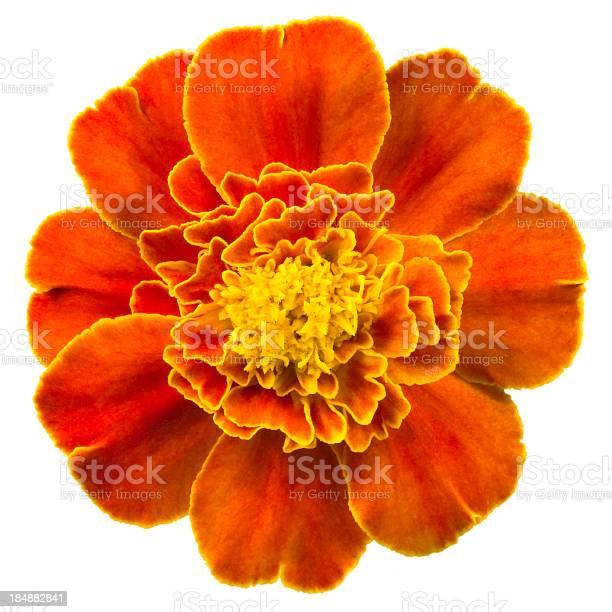 Marigold picture id184882841?b=1&k=6&m=184882841&s=612x612&h=vqxaxdhvn zlzmzkx4r rvxdwnzoimo7cizsbcbbcvk=