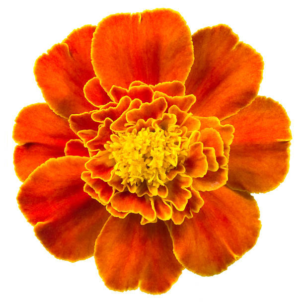 marigold. - single flower stock pictures, royalty-free photos & images