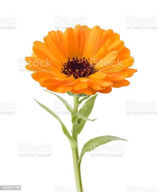 Marigold picture id542801790?b=1&k=6&m=542801790&s=612x612&h=wcjuf mn  ci2ng3qqfvnbdz73eylqw7fni9l cpfj4=