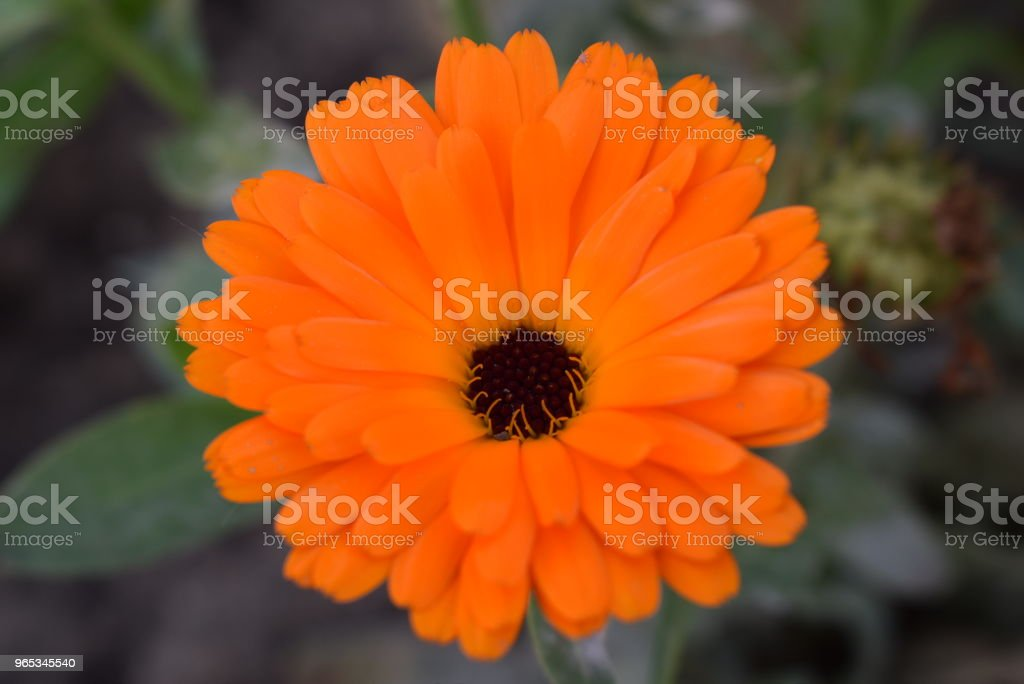 marigold royalty-free stock photo