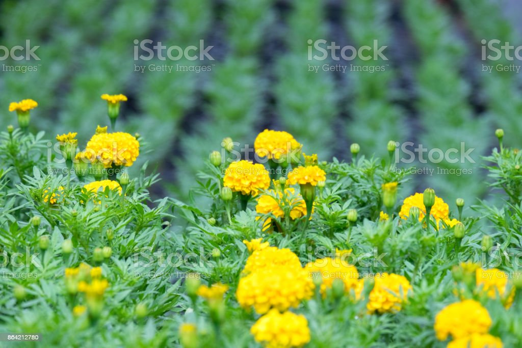 Marigold plant it in the garden royalty-free stock photo