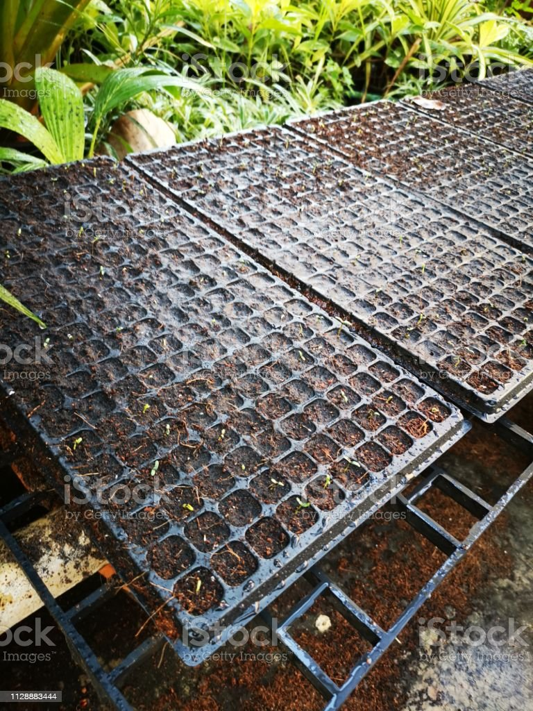 Marigold Seedlings In Black Pots Stock Photo Download Image Now