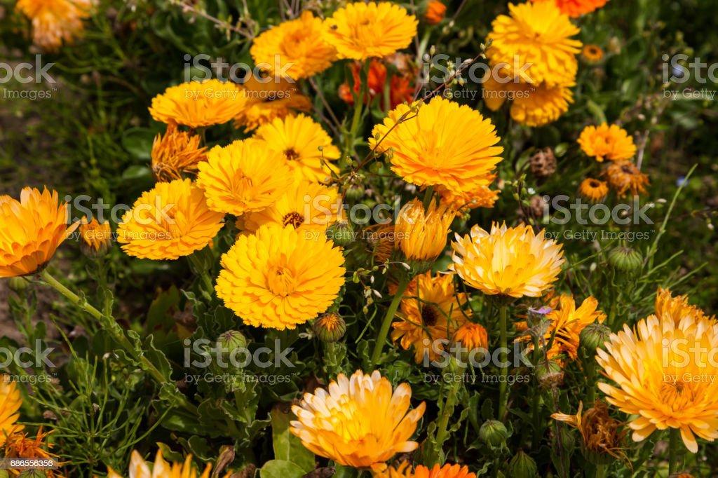 Marigold yellow flower petals calendula flower in garden. royalty-free stock photo