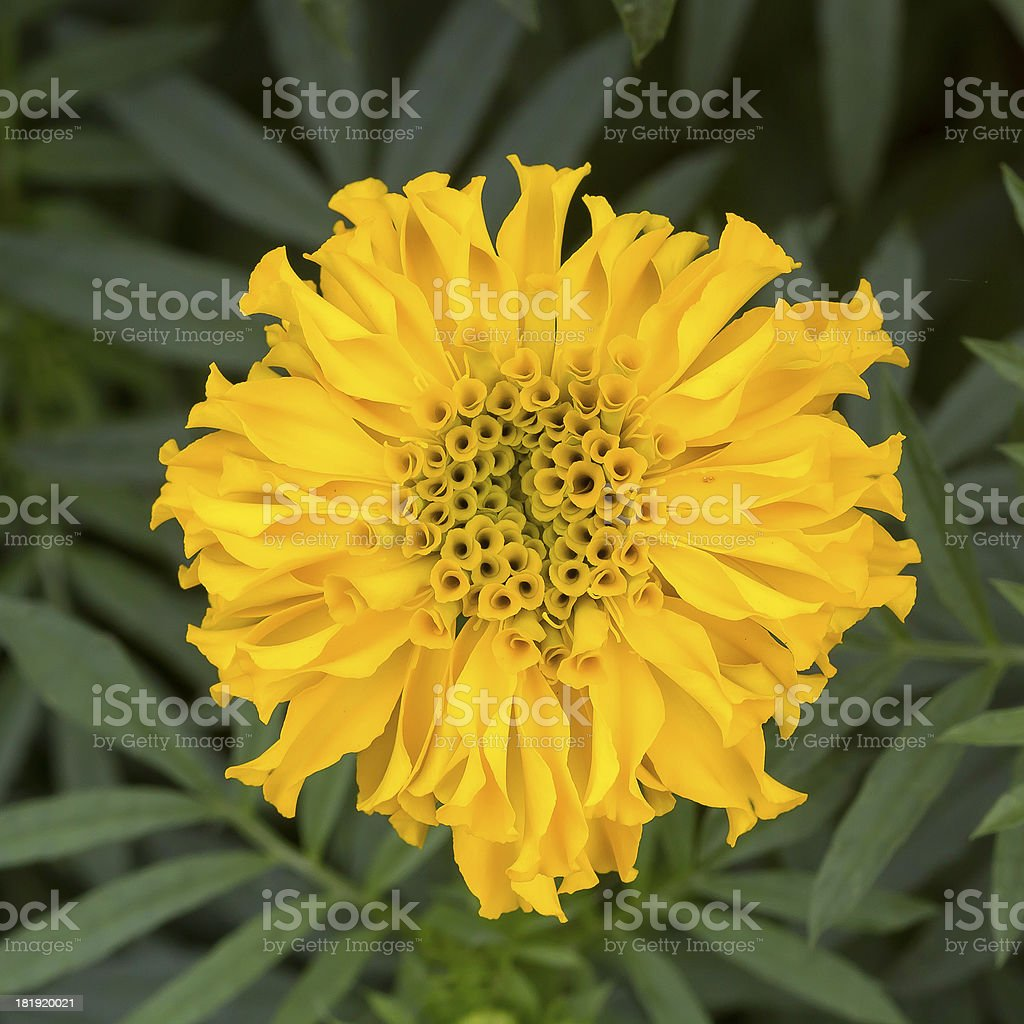 marigold, yellow flower with leaf background royalty-free stock photo