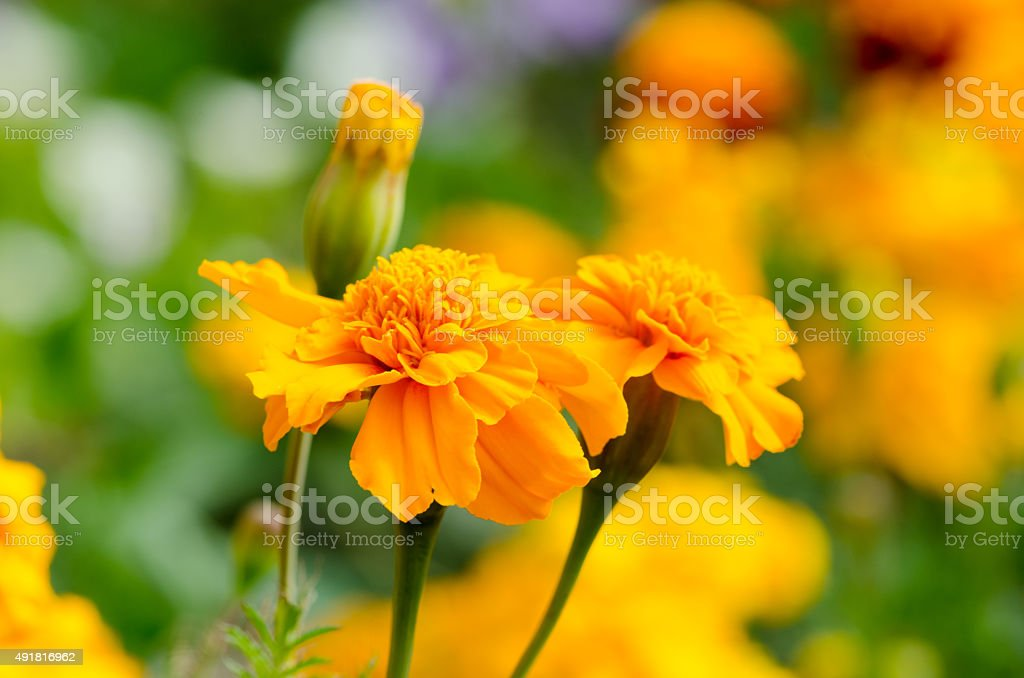 marigolds, bright flowers close up stock photo
