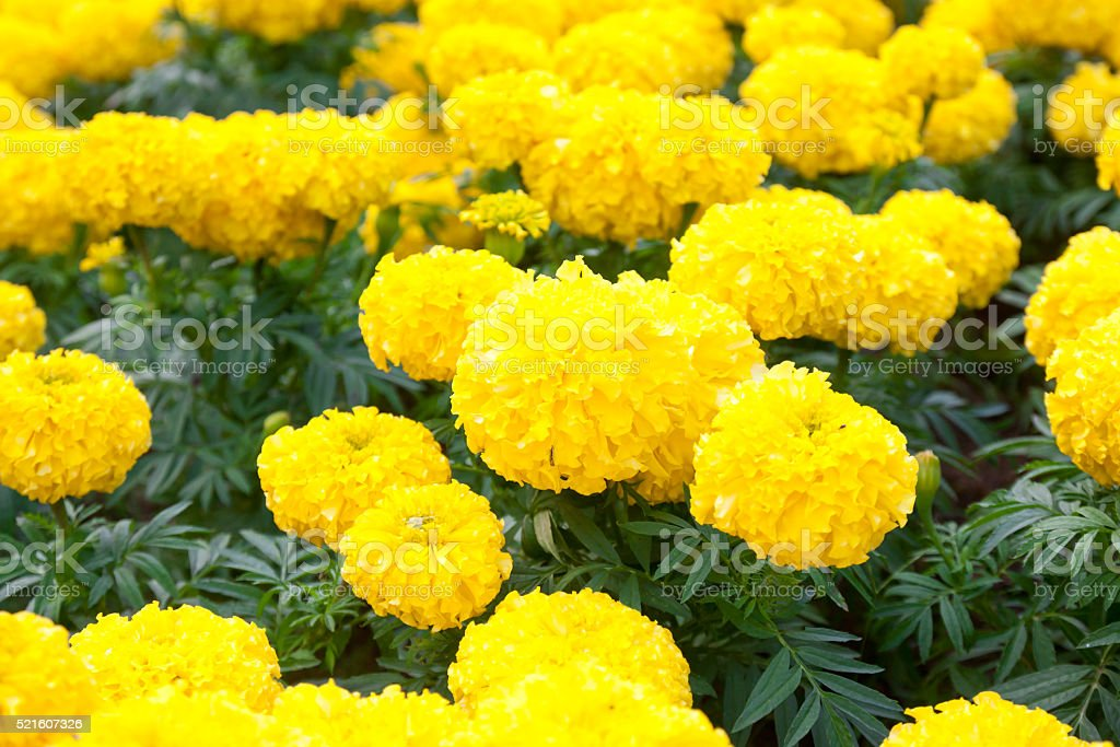 marigolds flowers stock photo