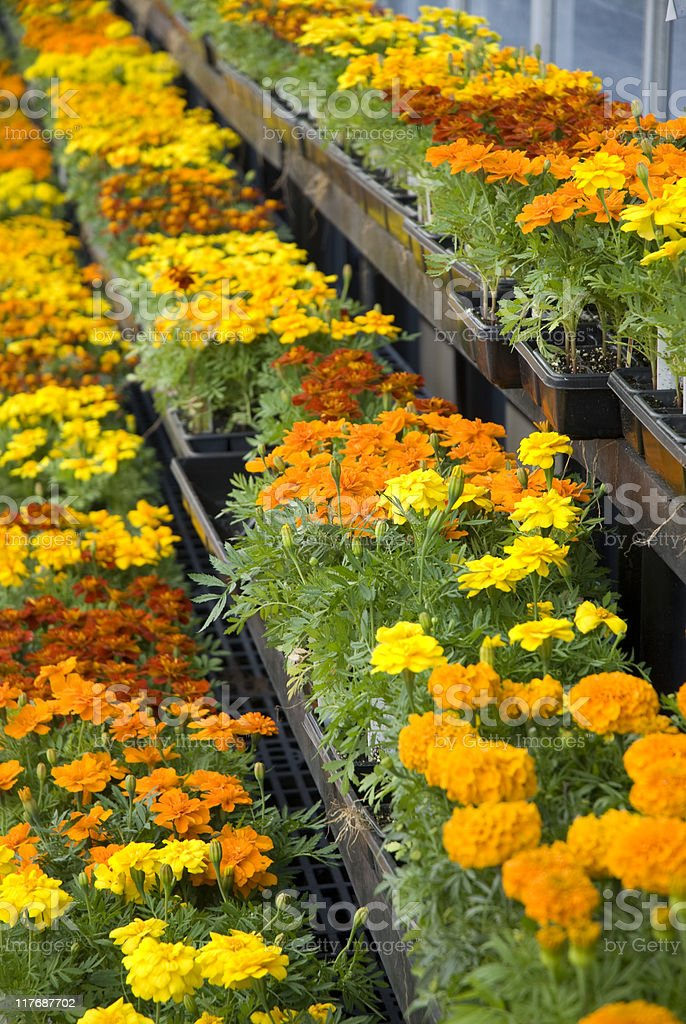 Marigolds for Sale royalty-free stock photo