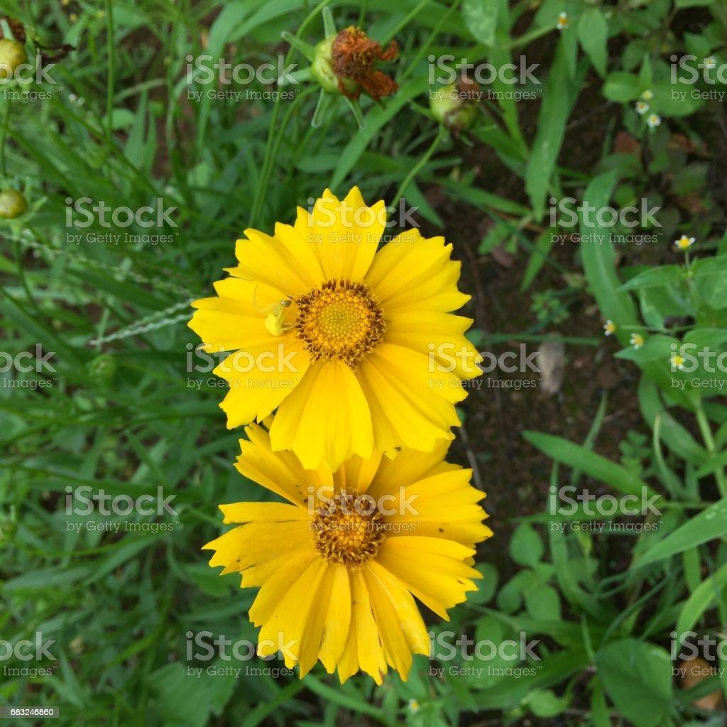 Marigolds Lizenzfreies stock-foto