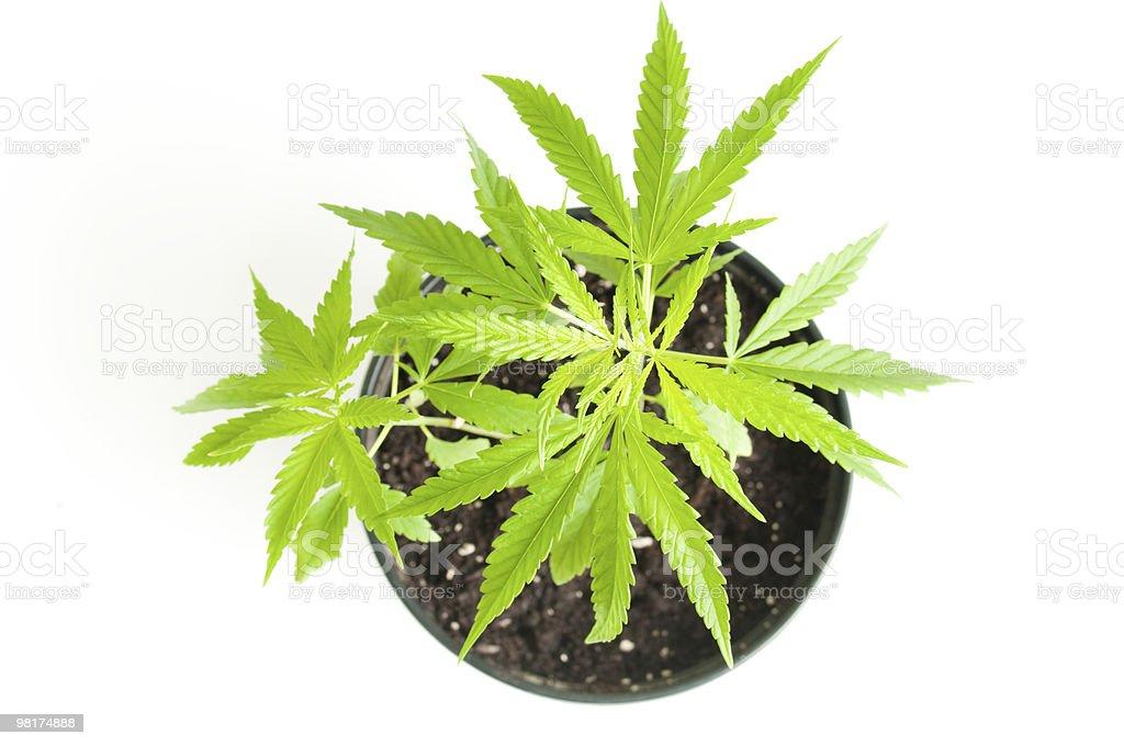 Cespuglio di marijuana foto stock royalty-free