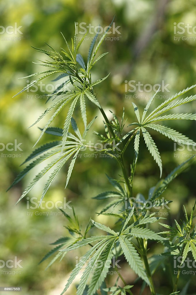 Marijuana Lizenzfreies stock-foto