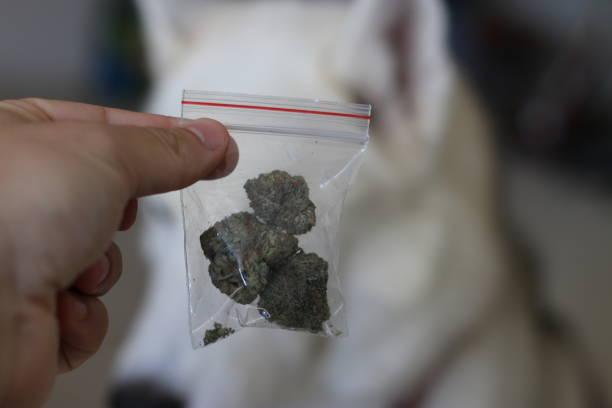 marijuana and pet usage theme photos stock photo