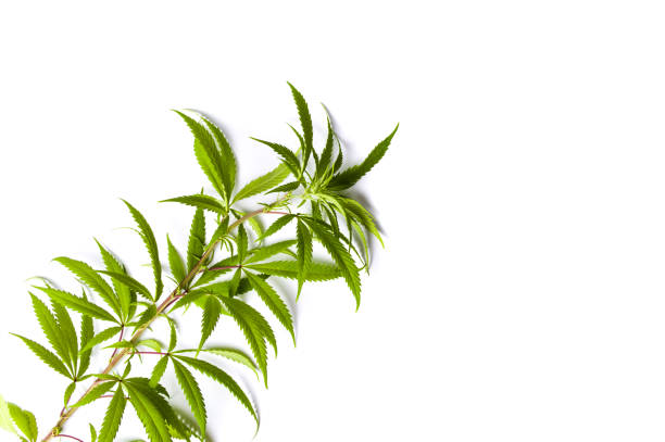 Marijuana branch isolated on white