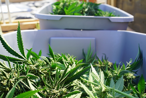 590301044 istock photo Marijuana Bud Clippings Harvested From the Plant Commercial Grow Operation 587507804