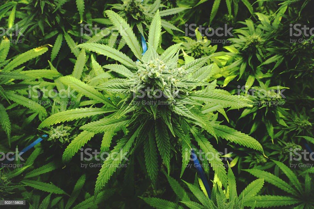 Marijuana Sur La Forêt De Bourgeon Intérieur De Style Vintage De ...