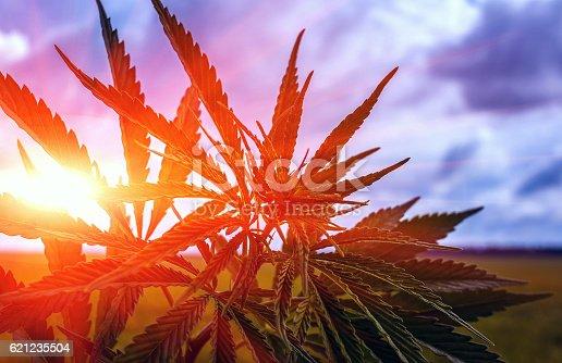 istock marijuana bush on a background of sky at su 621235504