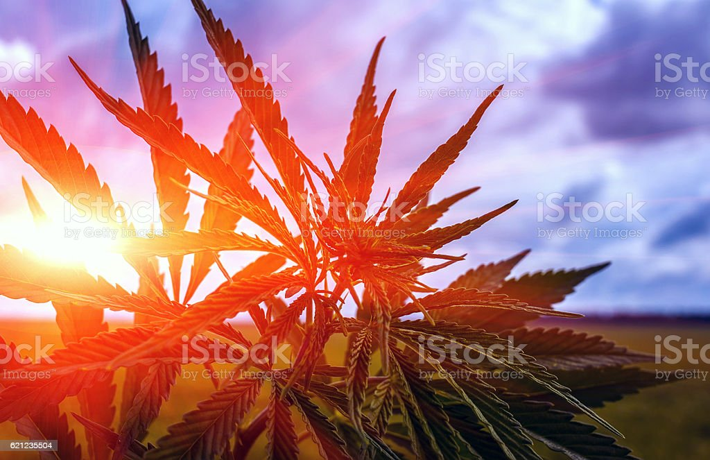marijuana bush on a background of sky at su stock photo