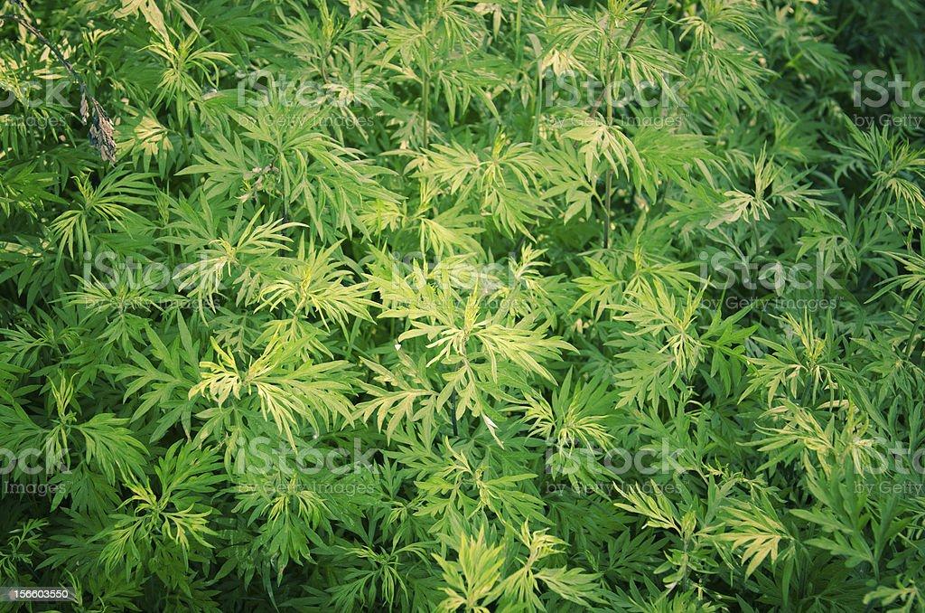 Marijuana Cannabis plant bush royalty-free stock photo