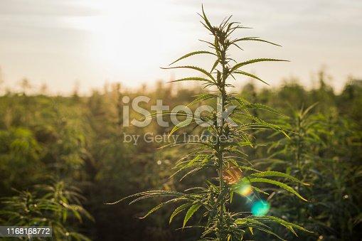 Marijuana CBD hemp plants field in sunrise. Big hemp agricultural field.