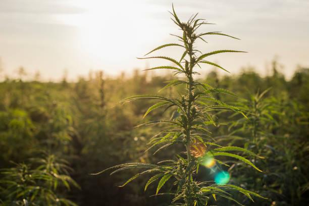 marijuana cbd hampa växter fält i soluppgången. stora hampa jordbruksområdet. - carpel bildbanksfoton och bilder