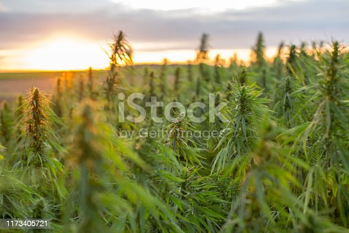 Marijuana CBD hemp plants field in sunrise