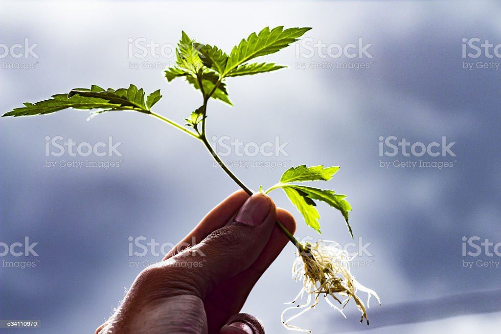 Marijuana Clone stock photo