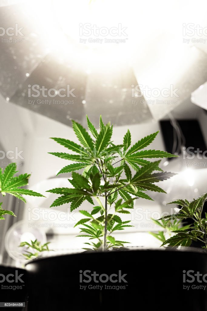 Marijuana Clones growth stock photo
