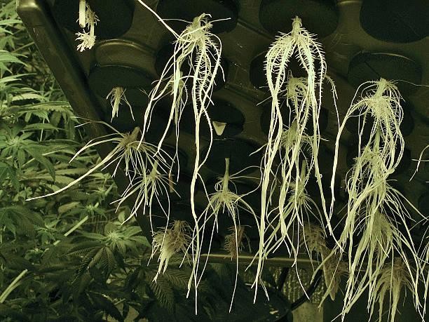 Marijuana Cloning Machine Grows Roots stock photo