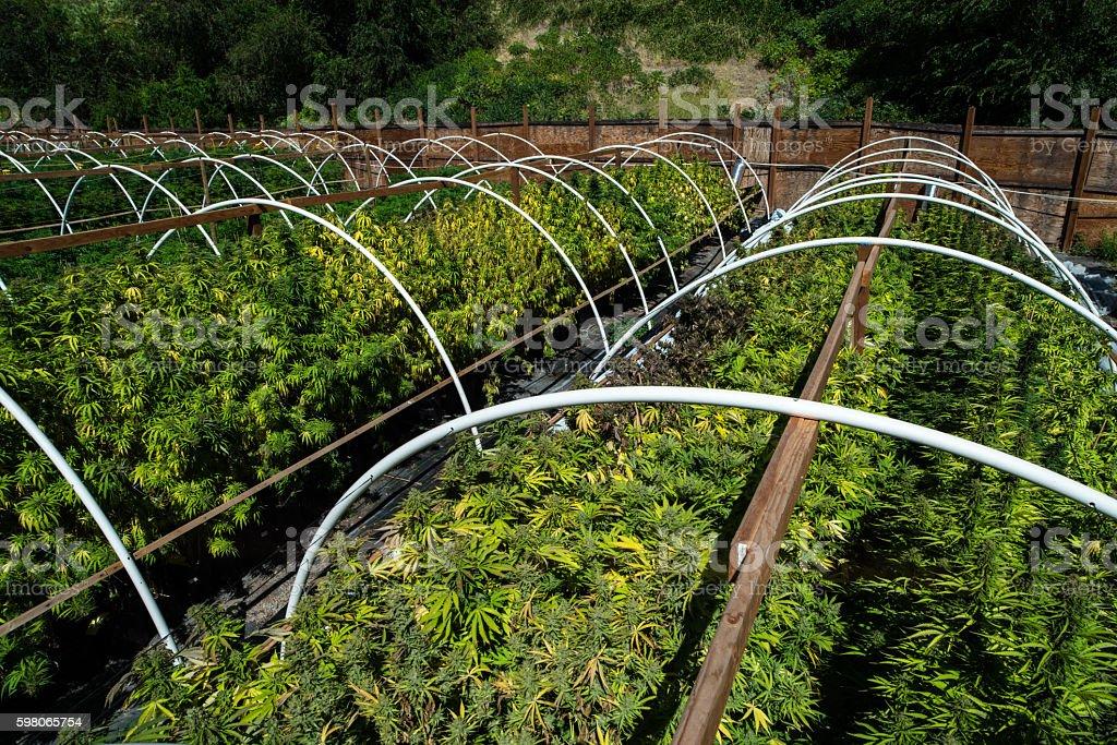 Marijuana Farm stock photo