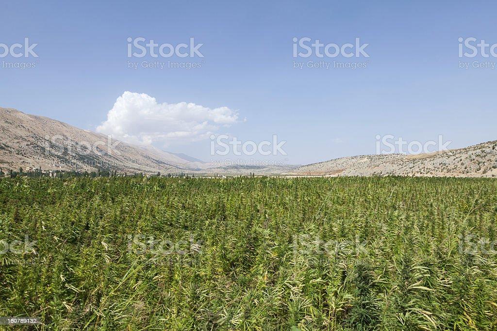Marijuana field in Lebanon stock photo