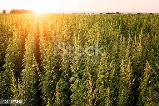Medical marijuana leaf close up