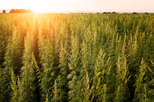 Marijuana field sunset stock photo