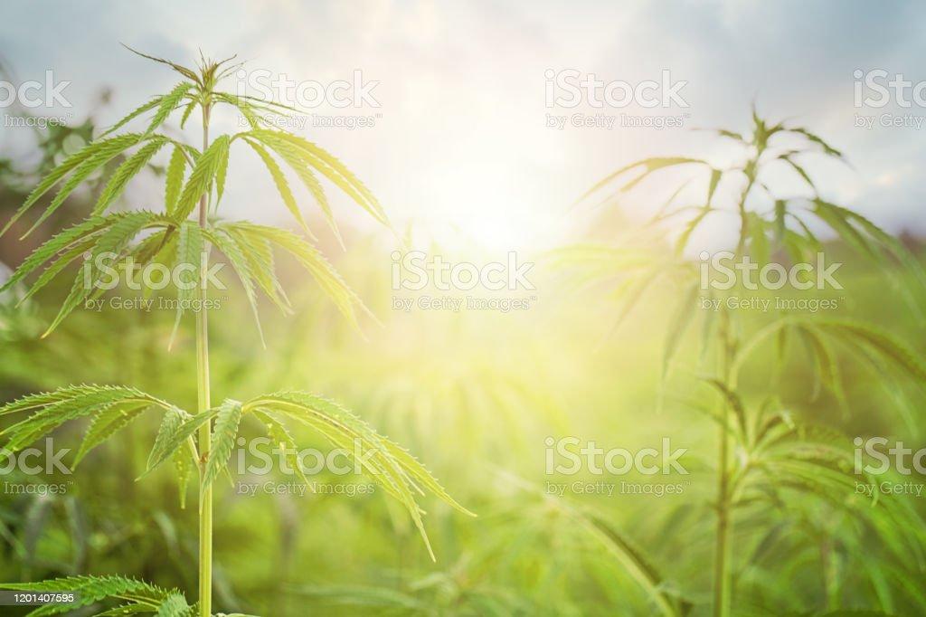 太陽とマリファナフィールド。マリファナの葉、緑の背景に大麻、美しい背景、オドア栽培 - まぶしいのロイヤリティフリーストックフォト